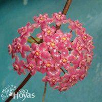 Hoya glabra Plant