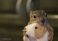 A sweet little orphaned baby squirrel finds a toy guinea pig in the lunch line at Coast & Canyon Wildlife Rehabilitation in Malibu, California.