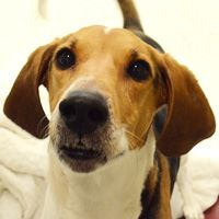 Tricoclor American Foxhound