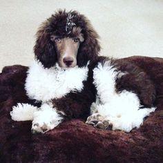 Brown/white tuxedo parti-poodle MizzElle's Standard Poodles