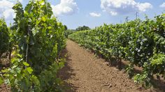 Vineyard, Puglia