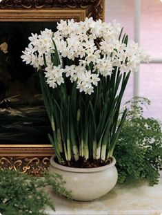 Paperwhites - need to get some of these, love to force them in the winter