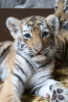 Newborn Amur Tiger (Panthera tigris altaica), also known as the Siberian Tiger, is a subspecies inhabiting mainly the Sikhote Alin mountain region, with a small population in southwest Primorye Province in the Russian Far East.  Photo Credits: Omaha's Henry Doorly Zoo & Aquarium (Image 1: Aurora; Image 2: Finn; Image 3: Titan; Image 4: mom, Isabella). #ZooBorns