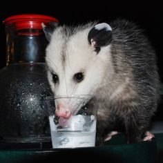 Like Animals, Funny Animals, Importance Of Water, Opossum, Cute Little Baby, Amazing Adventures, Great Friends, Animal Memes, Drinking Water