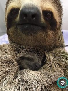 Such a beautiful baby snuggling with Mom. Such a beautiful baby snuggling with Mom. Super Cute Animals, Cute Baby Animals, Animals And Pets, Funny Animals, Wild Animals, Cute Sloth Pictures, Animal Pictures, Cute Baby Sloths, Baby Otters