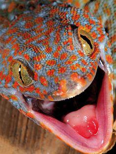 Gekko gecko (Tokee) | by Christian Ziegler)