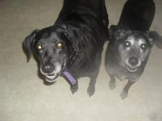 Carl and Betty are a #BondedPair of #adoptable #LabradorRetriever #Dogs in #BurnabyBC #CANADA. Carl & Betty are 10-year-old black labs.  They are a bonded pair and must be adopted together.  Carl & Betty were found abandoned ...