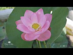 Nelumbo nucifera 'Chengse Tali' Lotus บัวหลวงขนาดใหญ่ 'เฉิงเซ่อ ตาลี่' Nelumbo Nucifera, Plants, Plant, Planets