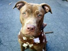 TO BE DESTROYED THUR, 3/6/14 - Manhattan Center    ANNEHATHAWAY - A0992577   FEMALE, BROWN / WHITE, PIT BULL MIX, 2 yrs  STRAY - STRAY WAIT, NO HOLD Reason STRAY   Intake condition NONE Intake Date 02/25/2014, From NY 11205,