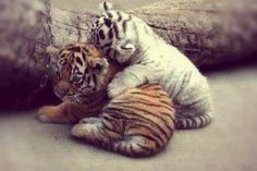 Baby tigers ..... one a rare white ... So cute!