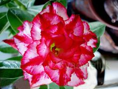 Image from http://www.123yaowaluk.com/wp-content/themes/shopperpress/thumbs/Adenium/Quatro-sweet-pink.jpg.