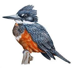Beautiful Birds, Animals Beautiful, Fat Bird, Bird Drawings, Vintage Birds, Trout Fishing, Kingfisher, Bird Art, Watercolor Art