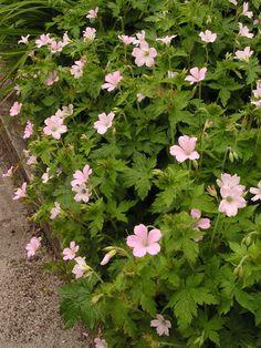 GERANIUM oxonianum 'Rebecca Moss' - Storkenæb, farve: lys rosa, lysforhold: sol/halvskygge, højde: 30 cm, blomstring: juni - september, god til bunddække.