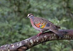 The Rainbow Fish Has Got NOTHIN' on the Rainbow Pigeon - The Common Bronzewing Pigeon (Phaps chalcoptera) Common Bronzewings either travel alone or in pairs or in flocks, and are usually cautious, making approach by humans or other animals difficult.