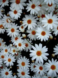 Group of a lot of daisies.