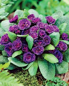 "Primula 'Miss Indigo',perfect for the front of a shade garden. Grows only 6"" tall, with evergreen foliage."