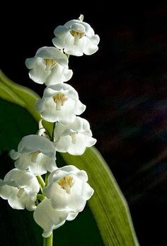 Lily of the Valley - one of my favorite spring #flowers. Perennial with a fragrance from heaven.
