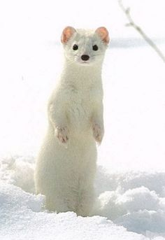 Stoat winter fur is very dense and silky, but quite closely lying and short, while the summer fur is rougher, shorter and sparse. In summer, the fur is sandy-brown on the back and head and a white below. The division between the dark back and the light belly is usually straight.