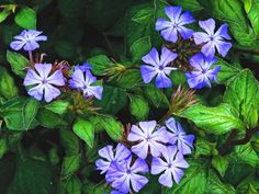 HARDY PLUMBAGO is an open branched, spreading, deciduous shrub with slender, bristly, mid-green stems. The leaves have purple margins, turning a bright red in fall. From late summer to autumn, this plant bears striking blue flowers.
