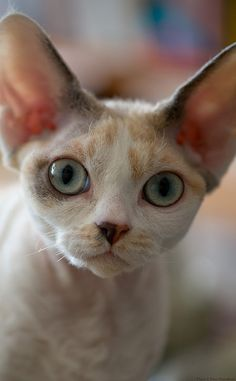 Portrait of a Devon Rex Cat