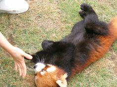 Red pandas in Ocean Park Hong Kong - Red Pandas Photo (30357885 ...