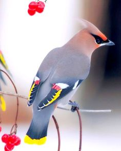 The Bohemian waxwing is a starling-sized passerine bird that breeds in the northern forests of Eurasia and North America. It has mainly buff-grey plumage, black face markings and a pointed crest. Wikipedia: