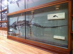 Plesioraur found by Mary Anning now in the Natural History Museum