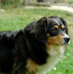 20484 River is an adoptable Australian Shepherd Dog in Wetumpka, AL. River came to us as a stray that was never reclaimed.� He is 1-2 years old, about 45 lbs, good with other dogs, can be talkative, a...