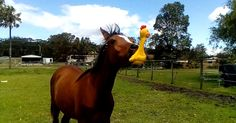 This horse just got a squeaky toy and he's never letting it go!