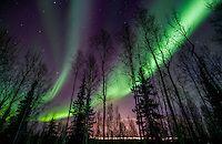 Green arcs of the northern lights swirl over the winter boreal forest, Fairbanks, Alaska