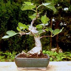 Providing the best care to your bonsai tree will help prolong its life – find out how. Mini Bonsai, Bonsai Fruit Tree, Bonsai Tree Types, Bonsai Tree Care, Fruit Trees, Fig Tree, Ficus Bonsai, Bonsai Art, Bonsai Plants