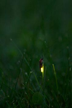 57 Best Fireflies Lightening Bugs