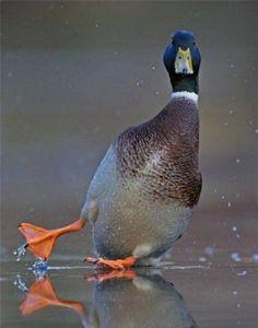 cute duck :3