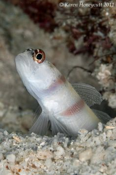 ˚Amblyeleotris yanoi (Flagtail Shrimpgoby) Sea Fish, Philippines, Pets, Animals, Beauty, Animales, Animaux, Animal, Animais