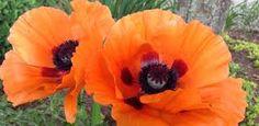 Αποτέλεσμα εικόνας για lilium flower
