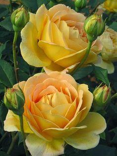 """""""Golden Celebration"""" English Rose"""