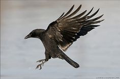 Crow Nation   stonerchíc