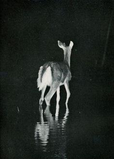 Black & White Deer at Night