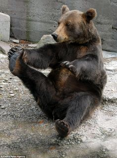 Yoga bear! This bear might stretch more than the average American. We could learn a thing or two from him.