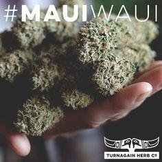 Meet #MauiWaui: midToHigh #THC low #CBD #happy #depression #bringH20 #THCo #GirdwoodTHC #turnagainherbco #Alaska #medicalcannabis #marijuana #Cannabis #medicalmarijuana