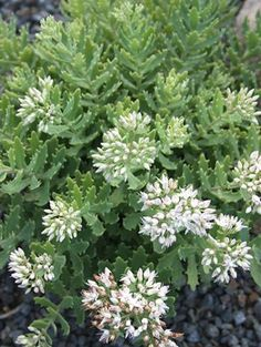 "'Thundercloud' Stonecrop - 8"" tall, 1' wide - blooms white! - full sun"