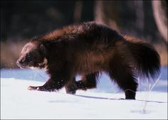 Bone-Crusher: The wolverine is a powerful animal with very strong jaws. A special upper molar turned 90 degrees inward helps it crunch through frozen meat and bone. In its search for food, the wolverine can cover over 30 miles a day and has no trouble running down its victims even on soft snow.