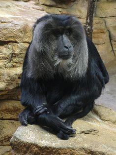 Makak lwi, makak wanderu, wanderu, uanderu (Macaca silenus)
