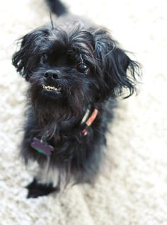 shih-poo with an underbite. Adorable dog!