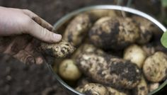 Hillier Garden Centres | How To Grow Your Own Potatoes | Hillier Types Of Potatoes, Potato Types, Growing Sweet Potatoes, Grow Potatoes, Chelsea Flower Show, Garden Trees, Grow Your Own, Home And Garden, Dining