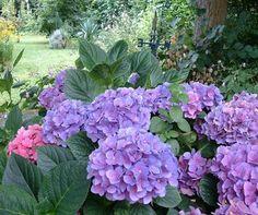 Cómo cuidar las hortensias. La hortensia es una planta muy llamativa para decorar debido a sus grandes y hermosas flores que durante la primavera le crecen. Al no adecuarse a otras estaciones del año, estas flores solo se mantie...