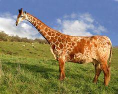 The Mooraffe #hybrid #animal #weird