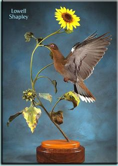 Lowell Shapley - Dove and Sunflower entry into the National Taxidermy Championships