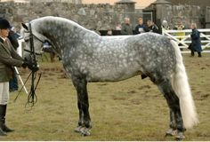 Fernville Danny, 2004 Connemara Pony stallion by Frederiksminde Hazy Match.