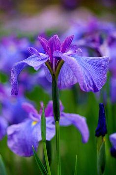 Rare Iris, Iris Seeds, Bonsai Flower Seeds, Heirloom Iris Tectorum Perennial Flower Seeds, Plant for Home Garden